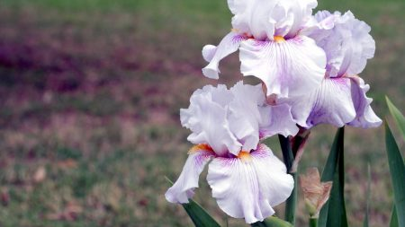 irises, flowers, close up