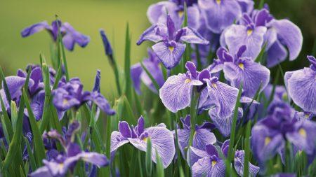 irises, flowers, herbs