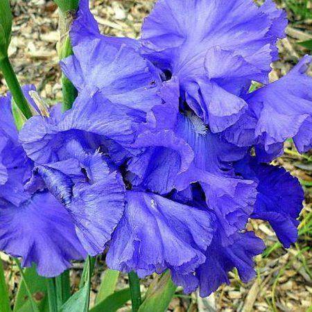 irises, flowers, soil