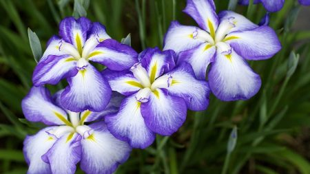 irises, flowers, two-color