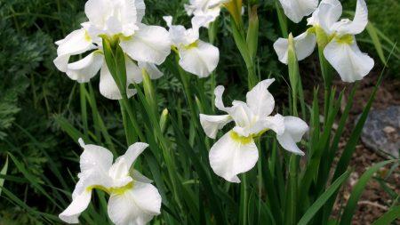 irises, white, flower