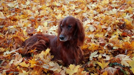 irish, setter, beautiful