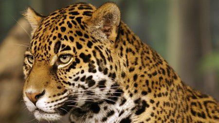 jaguar, big cat, predator