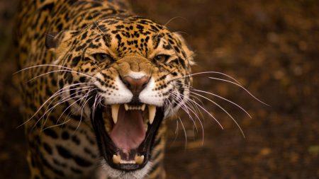 jaguar, face, teeth
