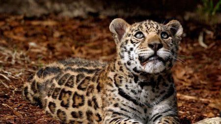 jaguar, grass, rocks