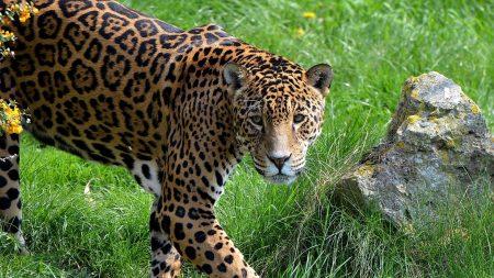 jaguar, grass, stone