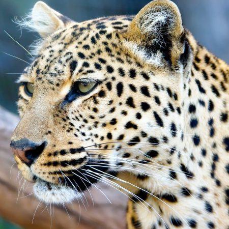 jaguar, leopard, animal