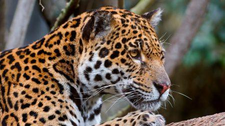 jaguar, predator, face