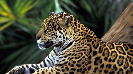 jaguar, spotted, sitting