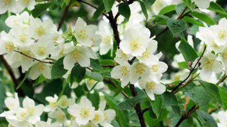 jasmine, blossoms, twigs