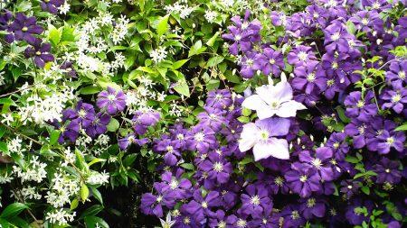 jasmine, clematis, herbs