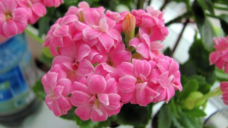 kalanchoe, flowers, bloom