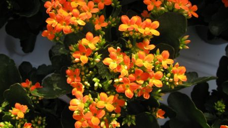 kalanchoe, flowers, bright