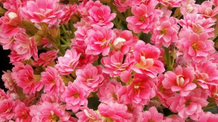 kalanchoe, flowers, pink