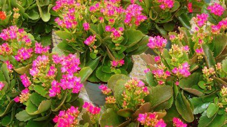 kalanchoe, flowers, pots