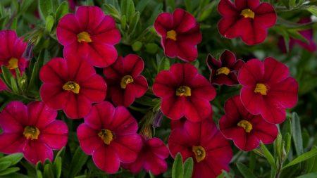 kalibrahoa, flowers, red