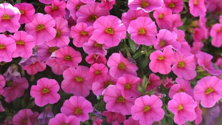 kalihobriya, flowers, pink