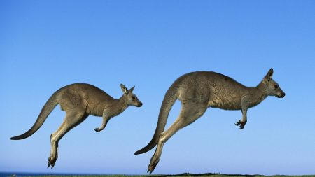 kangaroo, couple, field