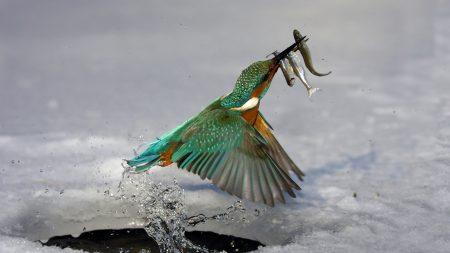 kingfisher, hunting, water