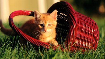 kitten, basket, grass