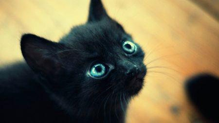 kitten, black, blue