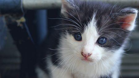 kitten, blue-eyed, face