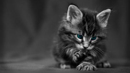 kitten, blue-eyed, furry