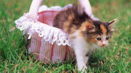 kitten, cat, basket