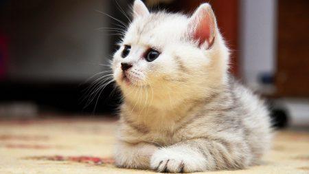 kitten, floor, lie