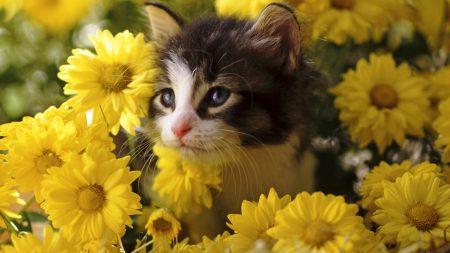 kitten, flowers, yellow
