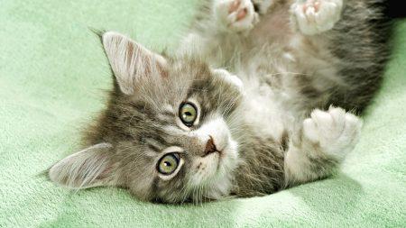 kitten, fluffy, lie