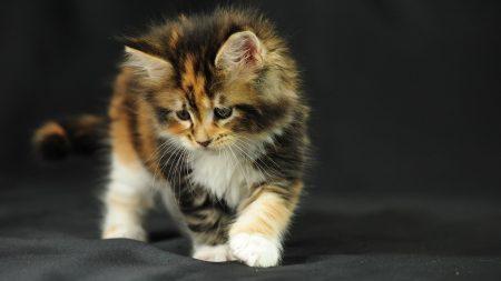 kitten, fluffy, photo shoot