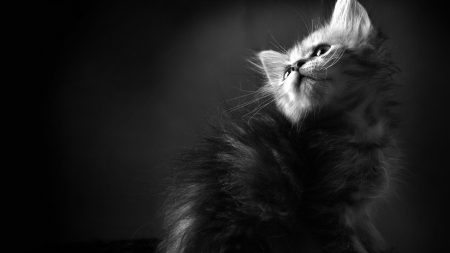 kitten, furry, curious