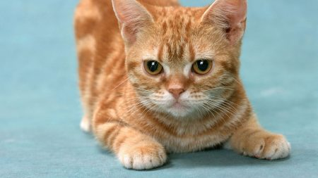 kitten, ginger, play