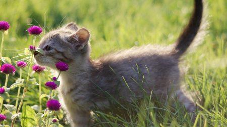 kitten, gray, grass