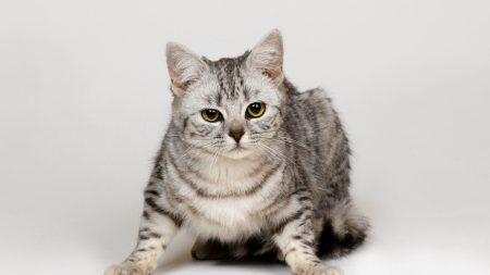 kitten, grey, muzzle