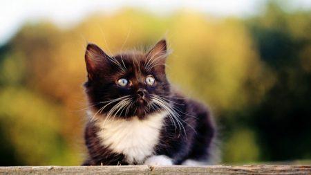 kitten, lie, face