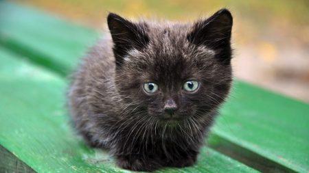 kitten, muzzle, black