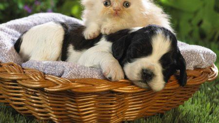 kitten, puppy, basket