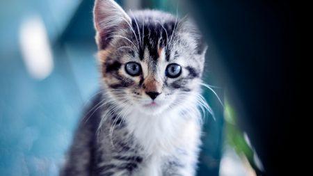 kitten, spotted, eyes