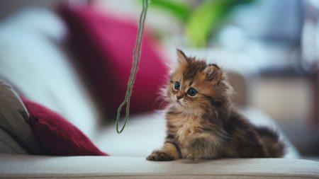 kitten, thread, play