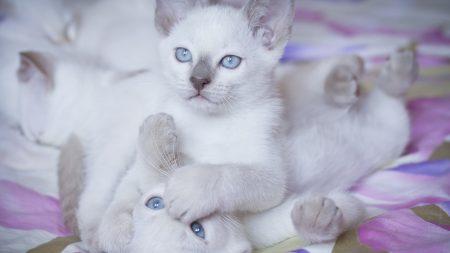 kittens, blue eyes, couple