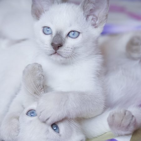 kittens, blue eyes, couple