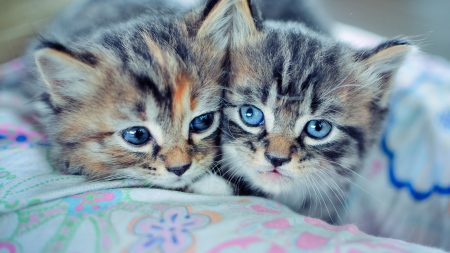 kittens, couple, blue-eyed