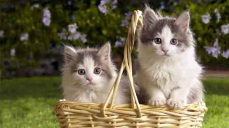 kittens, steam basket, flowers