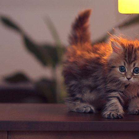 kitty, fluffy, light