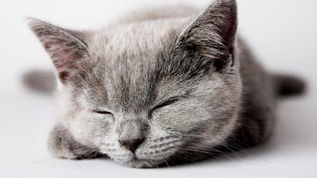 kitty, muzzle, sleep