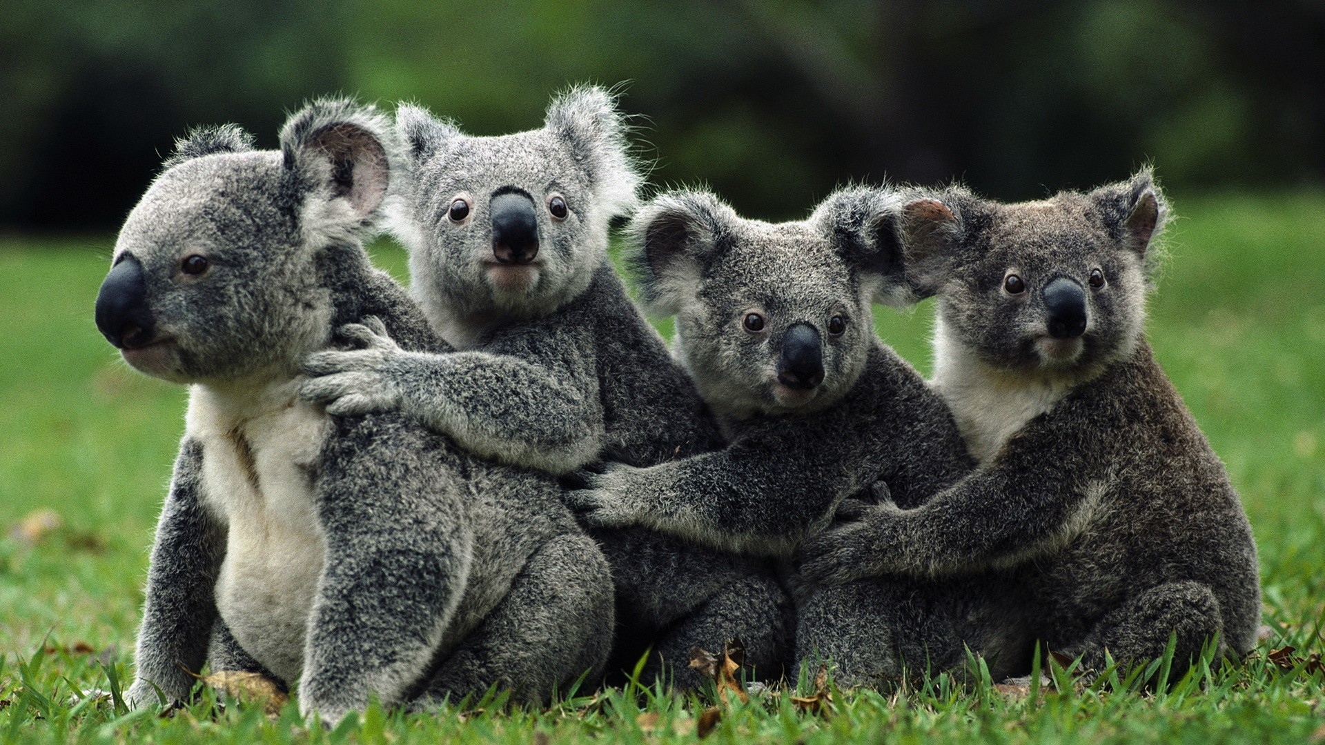 Earnings Disclaimer >> Download Wallpaper 1920x1080 koalas, crowd, animals, wild ...