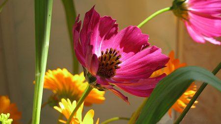 kosmeya, bouquet, flowers