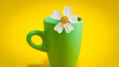 kosmeya, flower, petals